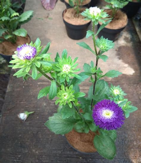 tanaman aster ungu tumpuk bibitbungacom