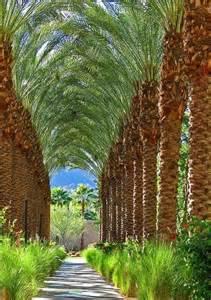 Desert Date Palm Tree Israel