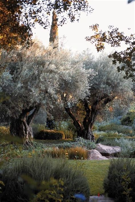olive tree landscape carex garden design by carolyn mullet garden pinterest gardens drought tolerant and