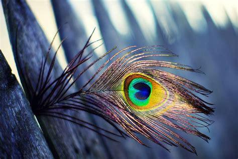 pluma de pavo real wallpaper forwallpapercom peacock