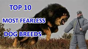 Top 10 Most Fearless Dog Breeds - YouTube
