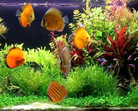 Makanan Ikan Hias Rainbow akuarium ikan hias cara memelihara ikan hias di akuarium