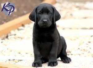 Labrador Retriever Black Lab Puppies