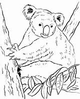 Koala Coloring Pages Bears Bear Cute Colouring Printable Drawing Printables Awesome Getdrawings Category Pdf Samanthasbell Getcolorings Popular sketch template