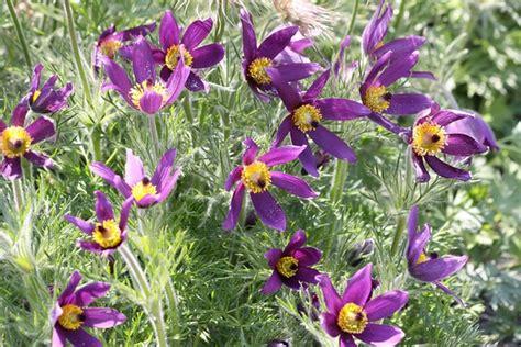 anémone pulsatilla anemone pulsatilla
