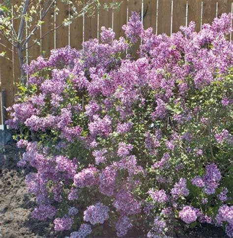 lilacs that bloom all summer plymouth nursery bloomerang dwarf lilac plymouth mi