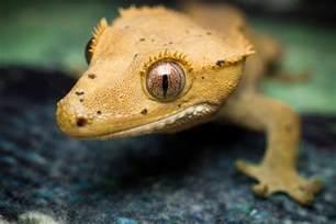 correlophus ciliatus gekon orzęsiony crested gecko 2