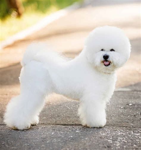 Bichon Frise Shih Tzu Mix Full Grown Goldenacresdogs Com