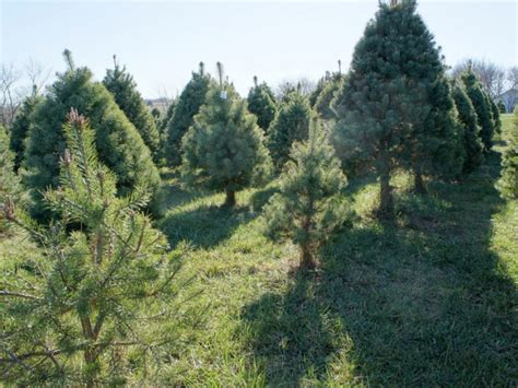 5 fairfield county christmas tree farms patch