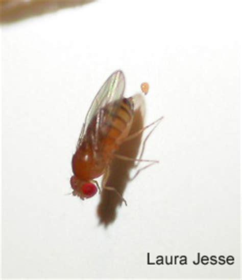 pesky  flies news