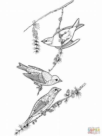 Ausmalbilder Finch Coloring Ausmalbild Purple Birds