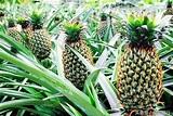 食物是最好的藥物之菠蘿,你知道菠蘿為什麼有那麼多刺嗎? - 每日頭條