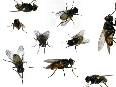 The Control Of Flying Insects ( House Fly )