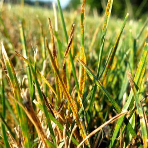 lawn rust disease turf diseases leaf spot melting commonly found macon fungicide control ga