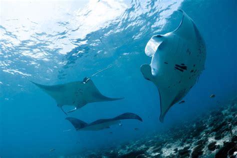 diving  north male atoll maldives dive  world
