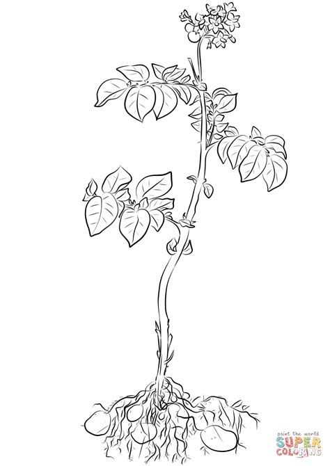 potato plant coloring page  printable coloring pages