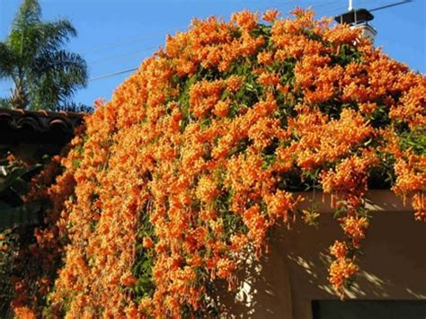 1000+ Images About Drought Tolerant Vines On Pinterest