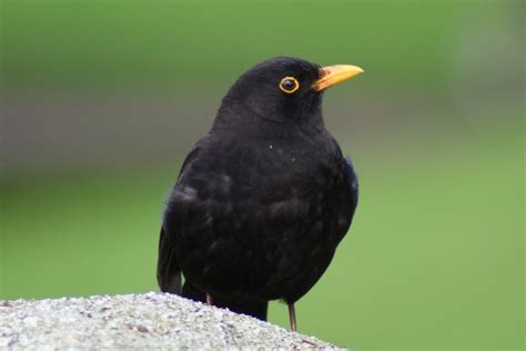 1000 images about common blackbird on pinterest