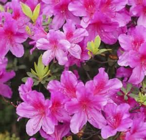 Pink Flowering Shrub Identification