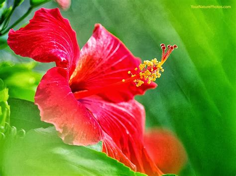Hibiscus Flower Backgrounds by Hibiscus Flowers Hd Wallpaper Free Hd Wallpapers