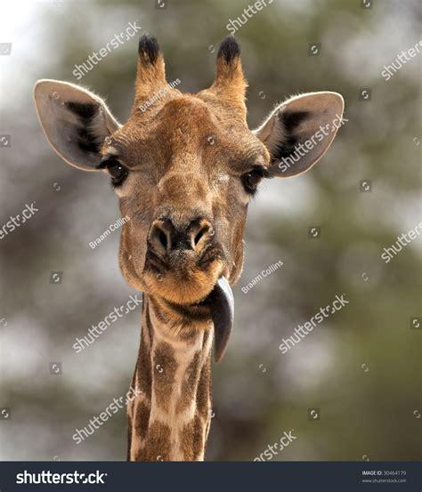 giraffe sticking   tongue stock photo