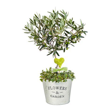 petit olivier en pot pour le printemps offrez du bonheur avec floraqueen fleurs le webzine des mamans qui d 233 chirent 174