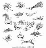 Spices Herbs Vector Food Medicinal Coloring Pages Natural Shutterstock Template sketch template