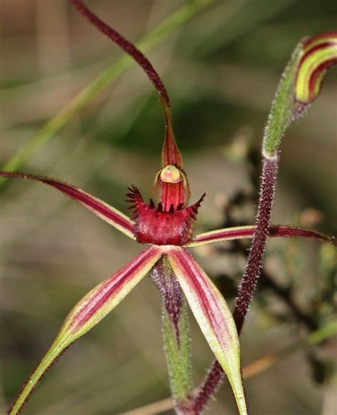 exclusive spider orchid flowers pictures weneedfun