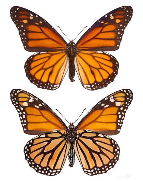 monarque papillon wikip 233 dia