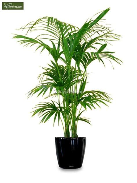 Palmen Für Innen by Howea Forsteriana Deko Zimmerpflanzen K 252 Belpflanzen