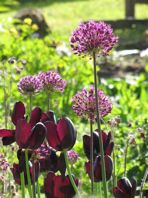 Garten Tulpen Pflanzen by Lila Tulpen Schwarze Tulpe Mit Alium Lila Garten