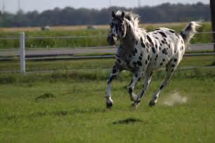 Black and White Leopard Appaloosa
