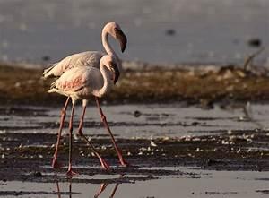 Rift Valley Lakes:Lesser Flamingo Hangouts | The Roberta ...  Lesser
