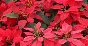 Magnolien Vermehren Durch Stecklinge : weihnachtssterne durch stecklinge vermehren mein sch ner ~ Lizthompson.info Haus und Dekorationen