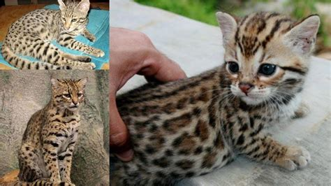 Interesting Safari Cat Breeds Facts And Information Youtube