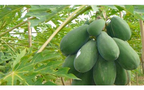 macam macam tanaman toga beserta manfaatnya belajar berkebun