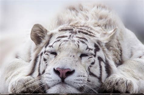 White Tiger Facts for Kids  All About White Tiger  Kidz Feed