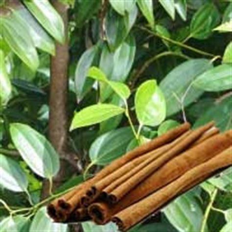khasiat madu  kayu manis obat tradisional obat jawa