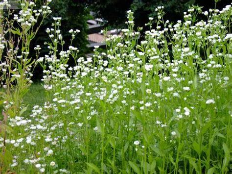 unkraut kleine weiße blüten berufkraut conyza canadensis erigeron annuus feinstrahl garten neophyt scharf unkraut