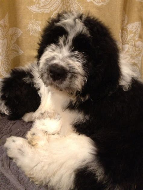 non shedding non drooling dogs dog breeds picture
