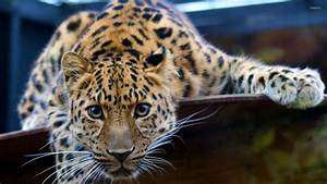 Young leopard wallpaper - Animal wallpapers - #29026