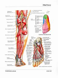 Best 25+ ideas about Superficial Peroneal Nerve   Find what you\'ll love