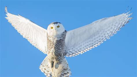 high back wing wallpaper owl flying wings snowy owl in flight