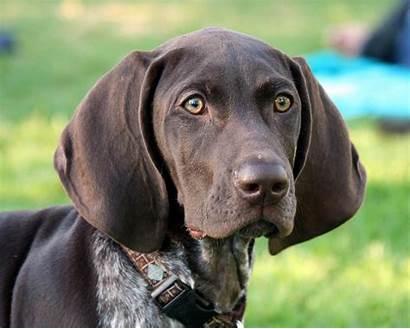 German Gsp Dog Age Pointer Ears Shepherd