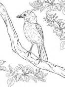 blue jay bird coloring page  printable coloring pages