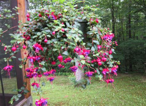 care of fuchsias in pots peonies fuchsias plant care tips the farmer s almanac