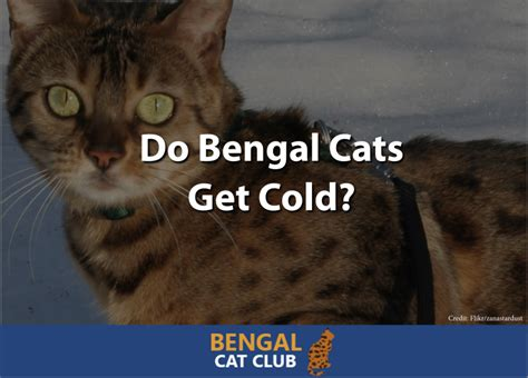 cats colds cold cat bengal
