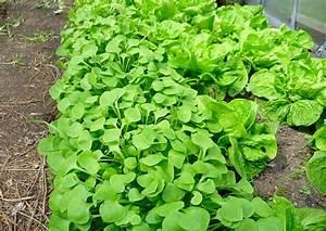 Portulak Pflanzen Kaufen : salat anbauen salat anbauen zeitpunkt von der sorte abh ~ Michelbontemps.com Haus und Dekorationen