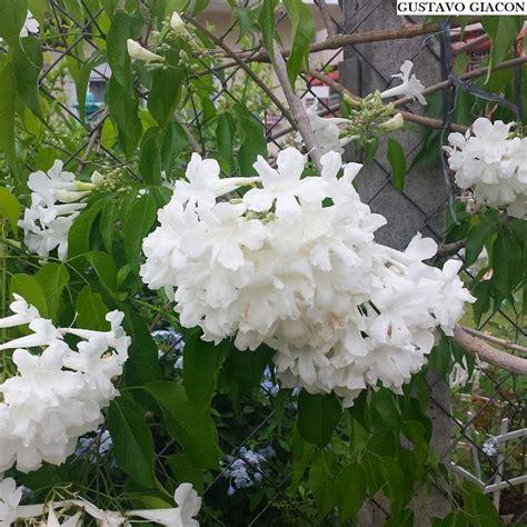 Viveiro Ciprest - Plantas Nativas e Exóticas: Cipó Branco ...