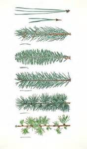 17 best images about pines spruce trees drawing trees and pine
